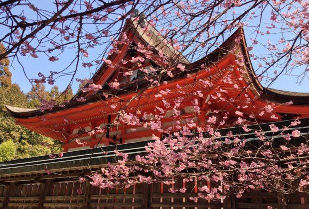 na dovolenku na jar - japonsko čerešňa