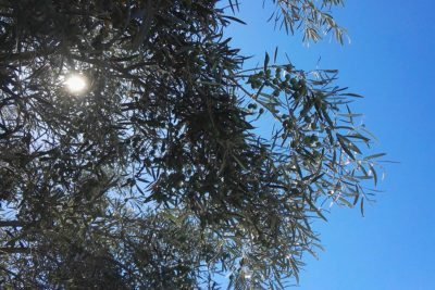 Ostrov Ugljan - Olivová záhrada
