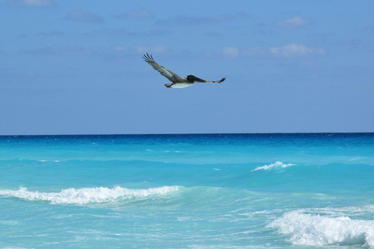 Cancún - pelikán