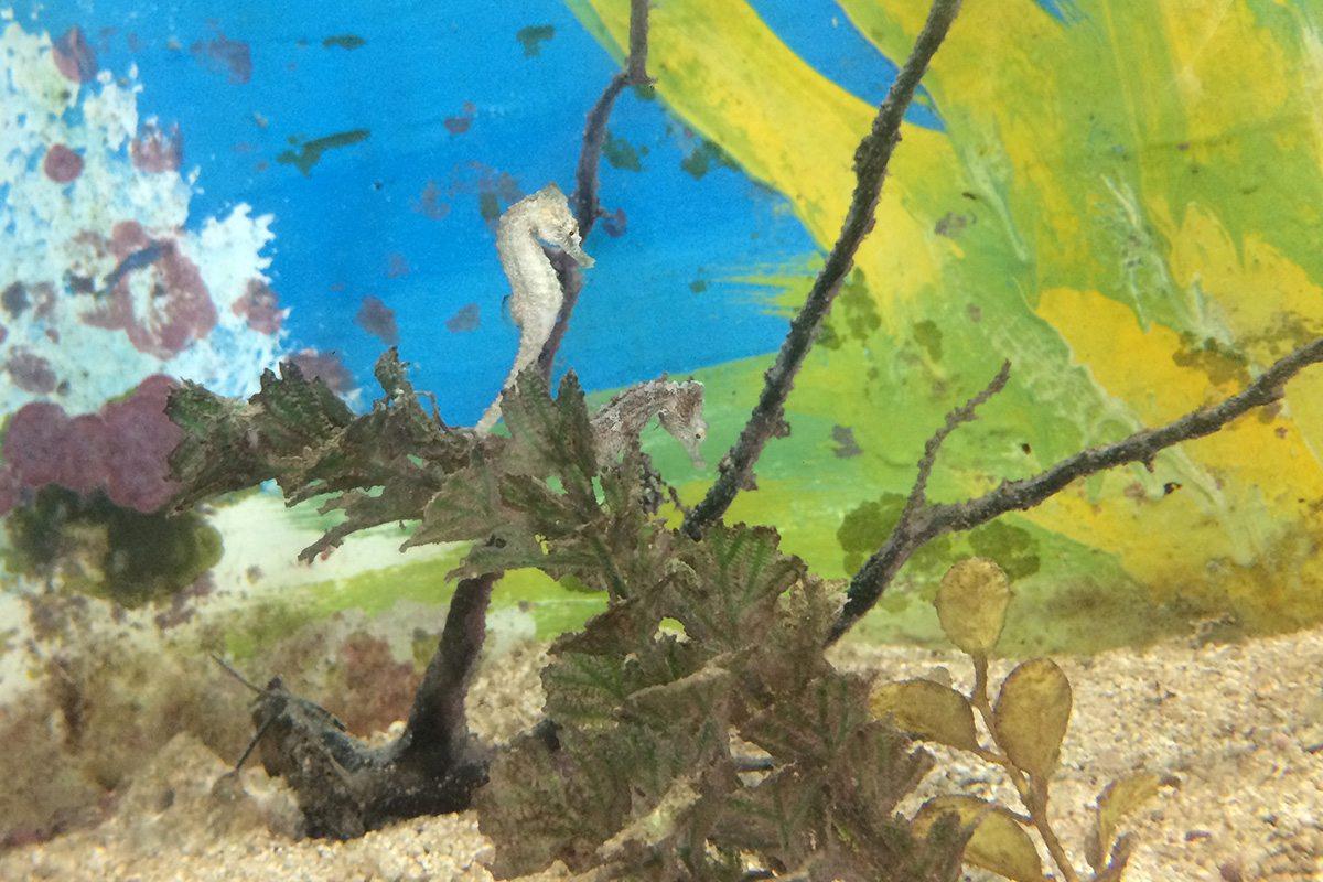 morské koníky