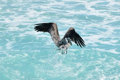 pelikán v Cancúne, Mexiko
