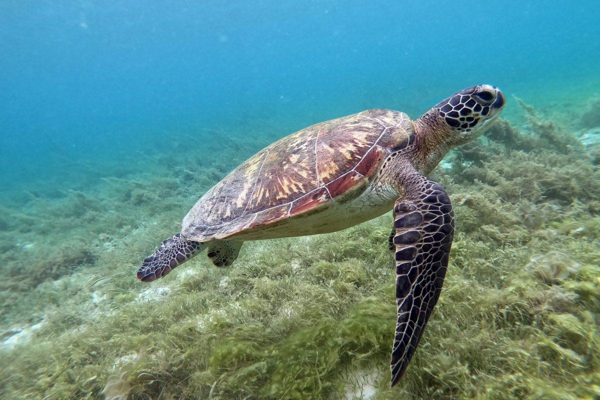 korytnačky moalboal, filipíny