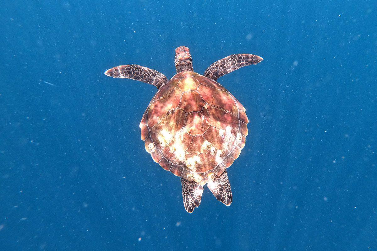 Šnorchlovanie na ostrove Balicasag - korytnačky