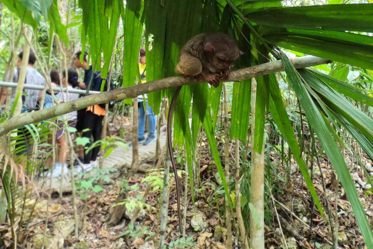 Tarsier - opičky na filipínskom ostrove Bohol