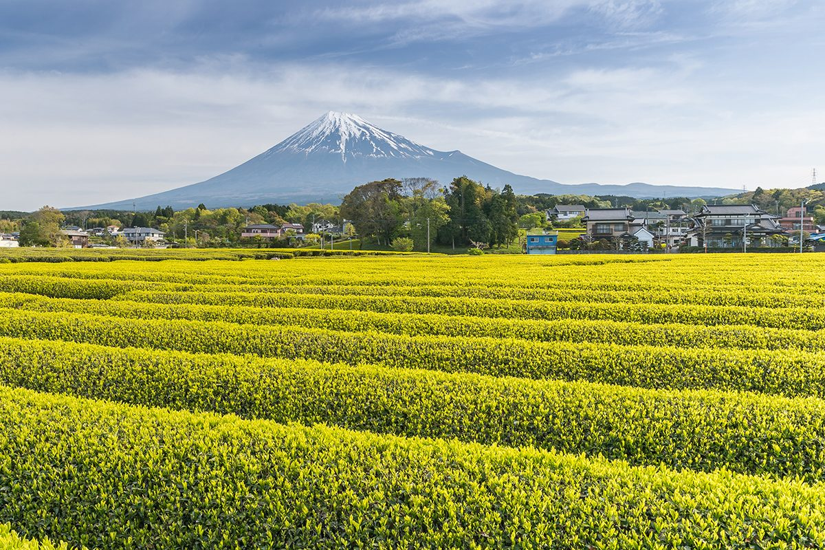 Fuji, Shizuoka čajové plantáže