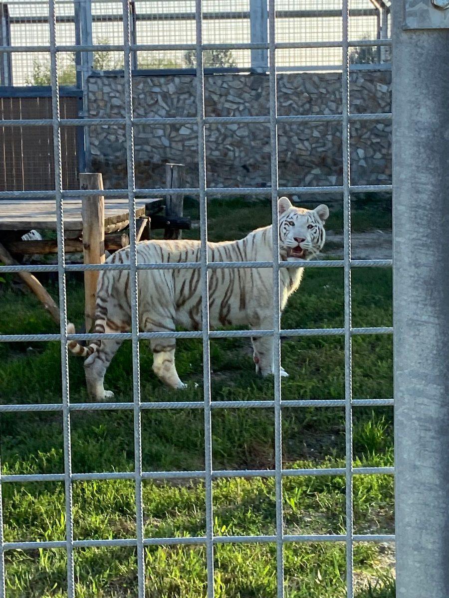 tiger malkia park